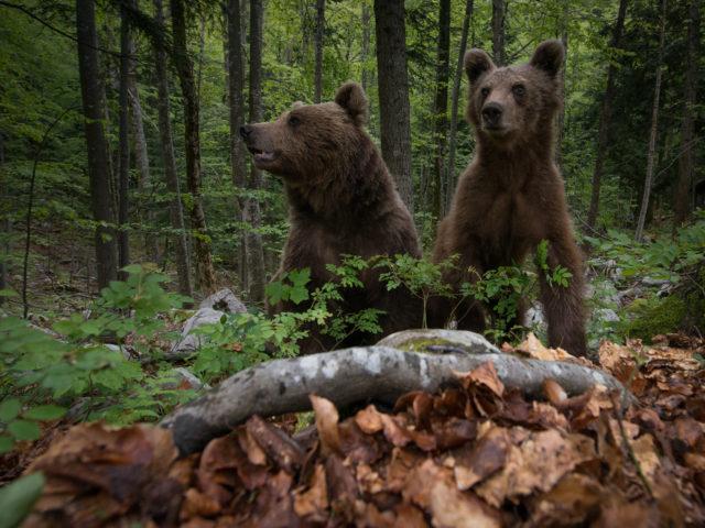 Osservazione dell'orso bruno in mezzo alla natura