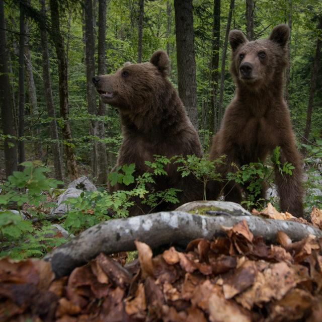 Opazovanje rjavega medveda v naravi