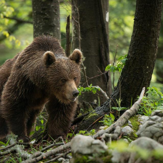 Braunbären in der Natur beobachten